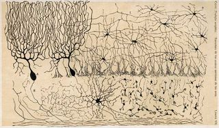 Cajal-chick-cerebellum[1]