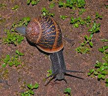220px-Snail-wiki-120-Zachi-Evenor[1]
